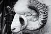 Curly Horns (Fairy_Nuff (new website - piczology.com!)) Tags: masham sheep fair yorkshire curly horns dorset horn poll