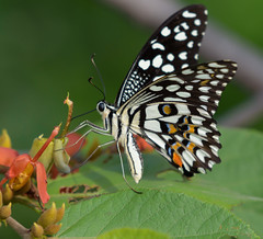 Butterfly at ABP Gurgaon (@nikondxfx (instagram)) Tags: aravallibiodiversitypark 200500 2017 aravalli august birdphotography d750 delhi gurgaon gurugram haryana nikkor nikon photowalk biodiversity morning park sunday lepidoptera butterfly insect macro