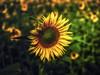 sunflower (steffen#) Tags: theperfectphotographer natureselegantshots platinumphotosupershot thebestofmimanorsgroups flickdiamond awesomeshot naturefinest award amazingcapture makro natur