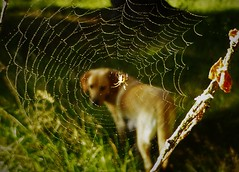 Sunshine through the Web..x (Lisa@Lethen) Tags: sunshine web dew water drops spider nature morning woods dog labrador