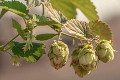 Hops! (adambralston74) Tags: hops green pink plant shallow dof