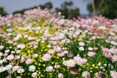 (VirtualWolf) Tags: australia bokeh canonef35mmf14lusm canoneos5dmarkiv flora kingspark perth techniques westernaustralia westernaustralianbotanicgarden flower
