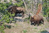Yellowstone National Park (steventhebraker) Tags: tatonka bison