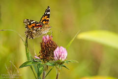 Papillon Belle-Dame / Painted Lady butterfly (Pierre Lemieux) Tags: stonehamettewkesbury québec canada ca papillonbelledame paintedladybutterfly maraisdunord