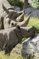 Diceros Bicornis (Charliebubbles) Tags: canoneos60d sigma120400mm photoshopcc chesterzoo chester cheshire nature wildlife 2017 mammal blackrhinoceros