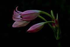 Let It Be (Christina's World aka Chrissie Bee) Tags: flower lily pink daylily artistic nature stilllife blackbackground pastel legacy