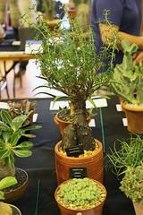 Conophytum ernstii, Mestoklema arboriforme (front to back)