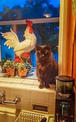 KITCHEN TABLEAU (akahawkeyefan) Tags: cat pussy rooster cock window kitchen kingsburg davemeyer stuff sink faucet black plants