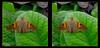 Longwood Gardens - Epargyreus clarus - Silver-spotted Skipper 1 - Crosseye 3D (DarkOnus) Tags: crossview crosseye pennsylvania buckscounty panasonic lumix dmcfz35 3d stereogram stereography stereo darkonus closeup macro insect longwood gardens epargyreus clarus silverspotted skipper butterfly