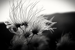 Beauty on a volcano (Ardyspictures) Tags: blackandwhite dennisswanson sunsetcraternationalmonument arizona flagstaff flower niftyfifty 50mm