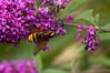 Stadsreus - Hornet hoverfly ♀ (Den Batter) Tags: nikon d7200 oss stadsreus volucellazonaria zweefvlieg hornethoverfly