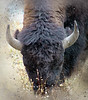 Yellowstone Icon (MontanaRoots (aka Craig)) Tags: montana beartooth yellowstone bozeman bison grazing wyoming buffalo iconic