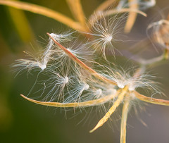 Wind will do the Job. (Omygodtom) Tags: tamron90mm tamron macro bokeh nikkor natural nature nikon awesome raw naturelovers d7100 digital seed senery selectivefocus golden grass field outside moss abstract fauna flora