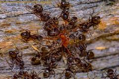 Take no prisoners (Javier Ábalos Álvarez) Tags: insects ants hormiga ant marabunta violence aggression agresion violencia agonista territoriality shredding combat contests mente enjambre hive mind nest