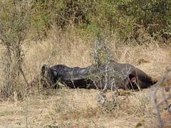 DSC00125 (francy_lioness) Tags: zebra giraffa elefante leonessa bufalo leoni lions tarangirenationalpark parks tanzaniasafari safari africasafari