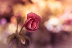Sony a7 50mm (Jasrmcf) Tags: ilce7 sel50f18f sony sonya7 sonyalpha sony50mm macro macros macrotube smooth blur bokeh bokehlicious bokehgraph dreamy vintage 50mm18 50mm garden nature ngc colours colourartaward colourful greatphotographers flower flowers petals pink