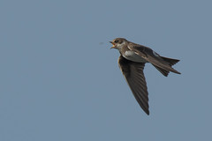 In-flight meal (Tim Melling) Tags: riparia sand martin feeding insect flight flying west yorkshire timmelling