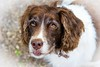 Like me the grey hairs are taking hold on Mollie ! (TrevKerr) Tags: dog spaniel englishspringerspaniel portrait d3s nikon nikon50mmf18 nikonsb900 eyes