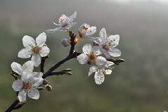 Foggy morning blossom (holly hop) Tags: flora blossom fog dew dewdrops winter morning nature white backlight sedge808sfaves