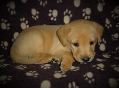 Puppy Sky..x (Lisa@Lethen) Tags: pet labrador puppy sky