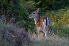 fallow deer (colin 1957) Tags: fallowdeer deer forestofdean