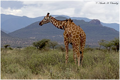 The Endangered Giant! (MAC's Wild Pixels) Tags: buffalospringsnationalreserve theraregiant giraffe reticulatedgiraffe giant tallgiant giraffacamelopardalisreticulata ungulates herbivore animal mammal wildlife nature outdoors africanwildlife outofafrica wildafrica safari wildanimal gamedrive kenya macswildpixels endangeredspecies critical endangered coth5 ngc npc sunrays5