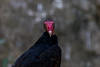 20170820-0I7A0480-Turkey vulture (siddharthx) Tags: singapore sg turkeyvulture birdsofprey canon7dmkii nature ef100400mmf4556lisiiusm jurongbirdpark aviary bigbirds largebirds