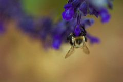Hiding (SunnyDazzled) Tags: bumble bee macro flower purple salvia nature garden summer humor hiding shy