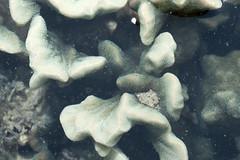 Crinkled sandpaper coral (Psammocora sp.) bleaching 2013 (wildsingapore) Tags: terumbu hantu psammocora psammocoridae cnidaria singapore marine intertidal shore seashore marinelife nature wildlife underwater wildsingapore threats bleaching scleractinia