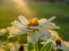 Last Sunny Days (ozkantayfun) Tags: sun sunny days flower light nature view macro