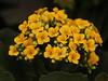 I FIORI COME LI VEDO IO.... (FRANCO600D) Tags: calancole kalanchoe fiori pianta crassulacea petali serra canon eos600d macro franco600d