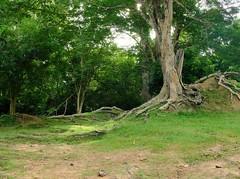 Tree (orion_by) Tags: tree travel travelphotography cambodia fujifilm fujifilm1855 xt20 fujifeed green