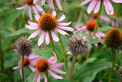 passed the year (Igor Gluhoj (intui.pro)) Tags: nature flowers flower depth garden outdoor plant blossom echinacea