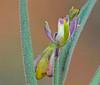 CAE005960a (jerryoldenettel) Tags: 170917 2017 darkmilkwort fabales grantco nm polygala polygalaobscura polygalaceae rosids velvetseedmilkwort velvetseedmilkwortatblackhawkcanyon wildflower flower milkwort