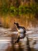 Evening wash (CecilieSonstebyPhotography) Tags: norway autumn bath beak bird bokeh droplets duck fall grass høst lake reflection riples straws water wild specanimal ngc npc coth5