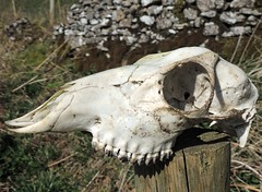 Skull (Kevin Pendragon) Tags: sheep death amazing awesome nature outdoor bone teeth head smooth bleached sun boner