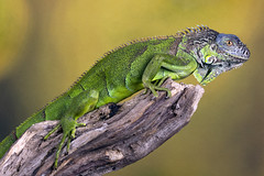 Green Iguana, CaptiveLight, Ringwood, Hampshire, UK