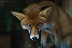 Fox (Annabelle Danchee) Tags: sonya9 sony sonyfemount sonyilce9 ilce9 art photo photography photos creative day live new beautiful danchee annabelle annabelledanchee dancheeannabelle wildlife animals animal fox zoo