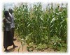 2017 Monitoring maize crop 2 (Foods Resource Bank) Tags: frb world renew humanitarian charity food security water conservation agriculture farmers vegetables crops maize raised bed garden mulching soil improvement cassave income protein animals disaster risk reduction drought flooding community training small business bricks