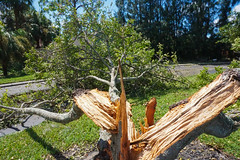 Split in half (SantanaaBananaa) Tags: tree destruction hurricane irma nature