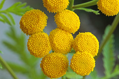 Tanacetum vulgare (Asteraceae) 206 17 (ab.130722jvkz) Tags: asteraceae tanacetum