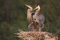 Growing Family (PamsWildImages) Tags: heron great blue bird babies nest nature wildlife canada bc pamswildimages family