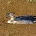 African Comb Duck (Sarkidiornis melanotos), male