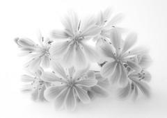 HIGH KEY Lewisia.....Macro Mondays (Lani Elliott) Tags: macro macrounlimited upclose closeup monochrome homegarden garden flowers flower lewisia whitebackground macromondays highkey fantastic superb excellent beautiful wow gorgeous