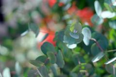 eucalyptus with red bokeh (Frau Koriander) Tags: eucalyptus eukalyptus eukalyptusblätter hip fancy leaf leaves blätter instagram instagramplant plant plants pflanze pflanzen koalafutter eukalypten zimmerpflanze zierpflanze frankfurt frankfurtammain frankfurtwestend frankfurterpalmengarten palmengarten palmengartenfrankfurt nikond300s 50mm nikkoraf50mmƒ18d myrtaceae trend silbergrün australien australischepflanze dof bokeh symmetrie baum tree busch strauch
