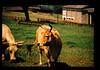 Strain Characterization Of East Coast Fever Agent(theileria) = 東海岸熱病原体の性状検索 (JIRCAS) Tags: 家畜のピロプラズマ病に関する研究 ケニア 国際獣疫研究所 家畜衛生 kenya trypanotolerance cattle ilrad
