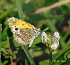Sulphur (Dainty) - Nathalis iole 2 (fall form, Brad) (edit) (MO FunGuy) Tags: daintysulphur nathalisiole fallform missouri butterfly