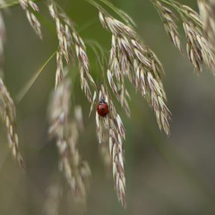 ladybug (Stefano Rugolo) Tags: pentax k5 smcpentaxm50mmf17 italy ladybug red squarefomat bokeh wheat insect spring grass stefanorugolo