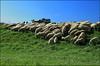 Contro l'insonnia (Maulamb) Tags: pecore gregge asino