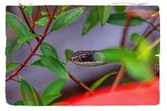 Creepy garden snake ... (Explore 2017-08-31) (NancySmith133) Tags: gardensnake godsgarden backyardgardens backyardcritters centralfloridausa naturethroughthelens inexplore